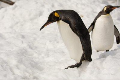 King Penguin at Asahiyama Zoo