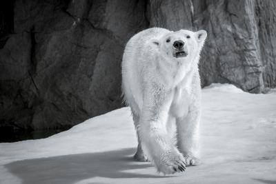 Polar Bear at Asahiyama Zoo