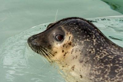 Earless Seal at Asahiyama Zoo