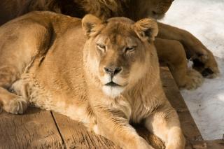 Lioness at Asahiyama Zoo