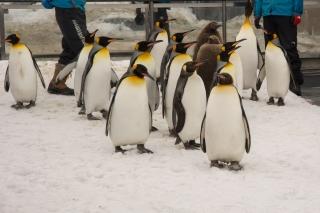 Penguins on a walk in Asahiyama Zoo