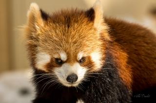 Red Panda at Asahiyama Zoo