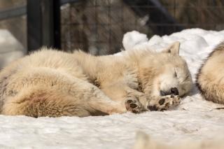 Wolf at Asahiyama Zoo