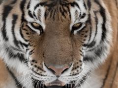 Amur Tiger at Asahiyama Zoo
