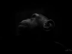 Chimp at Asahiyama Zoo