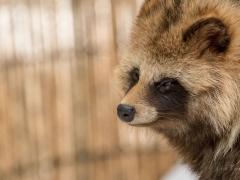 Racoon Dog at Asahiyama Zoo