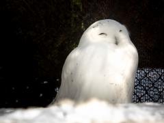 Snowy Owl at Asahiyama Zoo