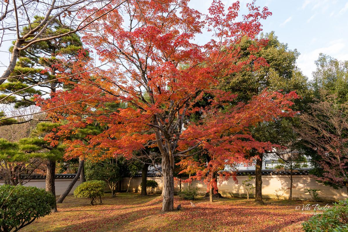Fall trees at Byodo-in