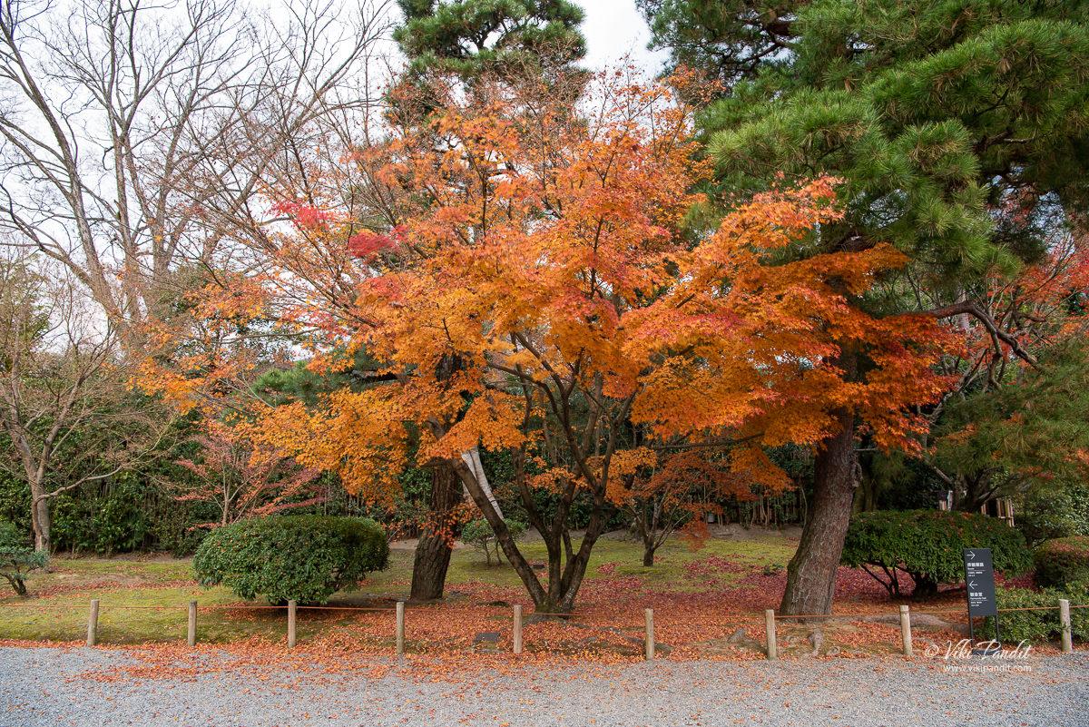 Momiji tree at Byodo-in Grounds