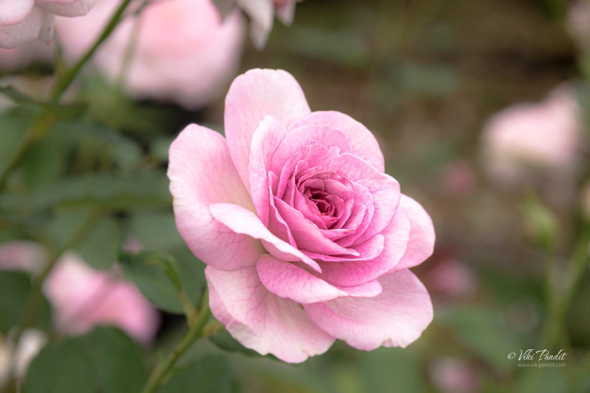 Roses growing near JR Fukuyama Station