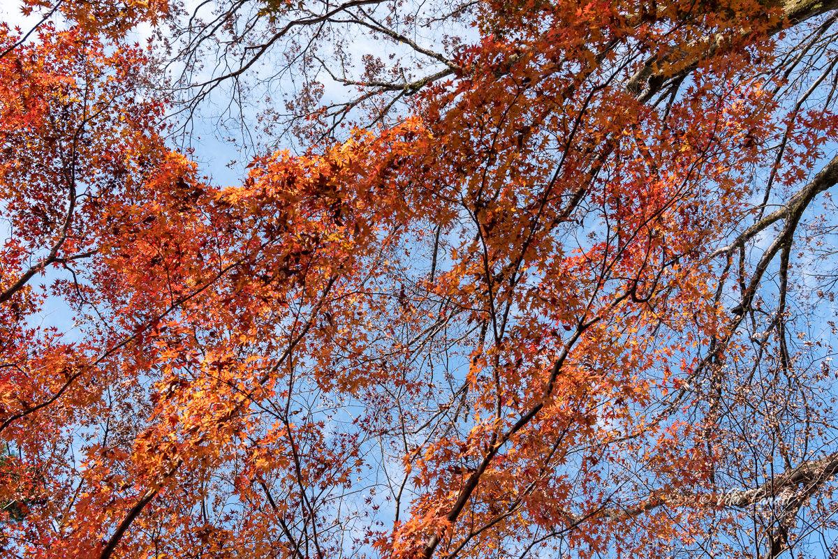 Fall trees at base of Gifu Castle