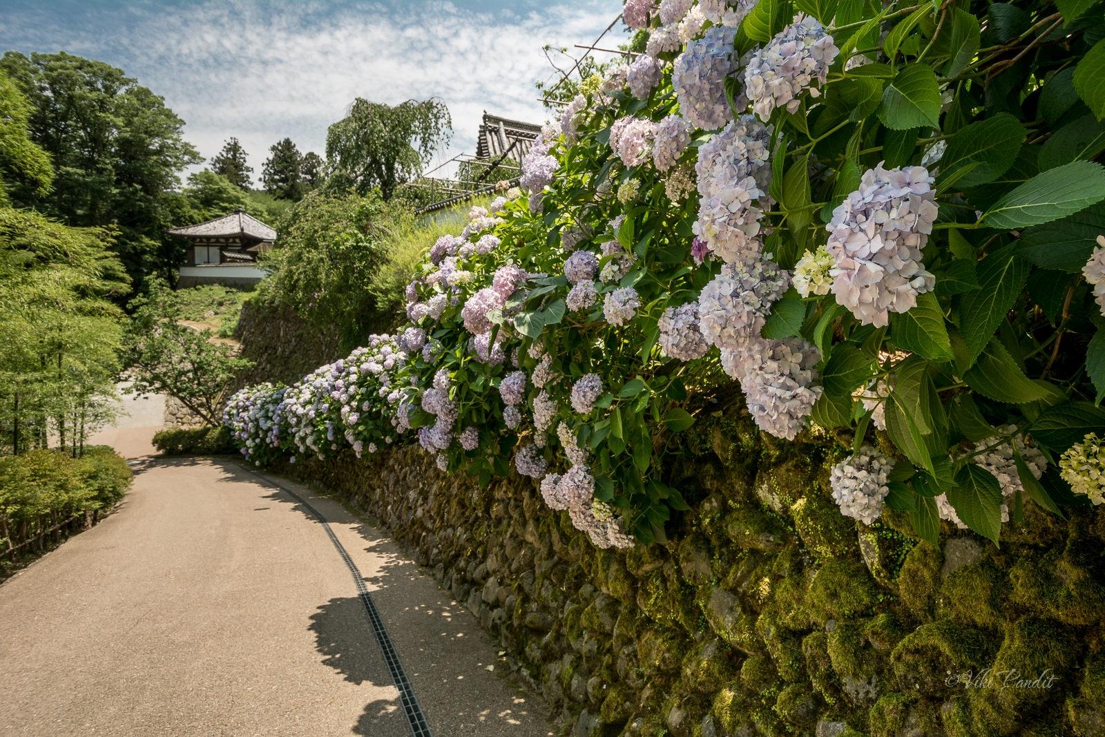 Ajisai Bloom at Hasedera, Nara