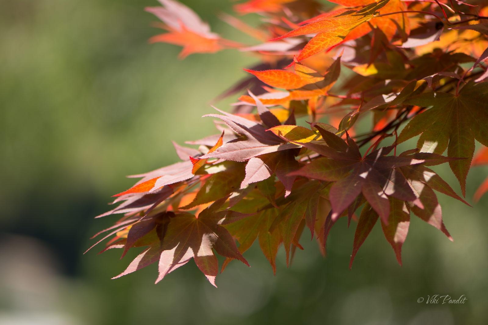 Momiji Leaves, Hasedera, Nara