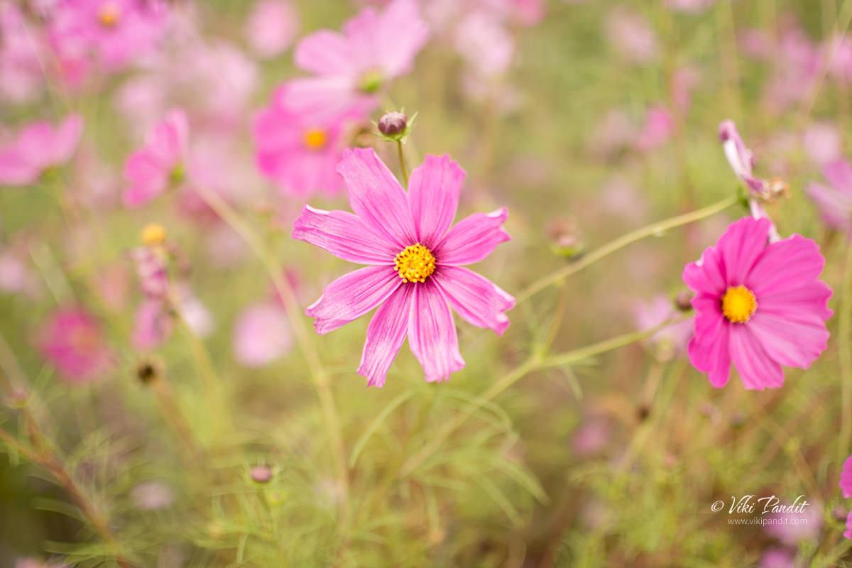 Cosmos Flowers in Iga