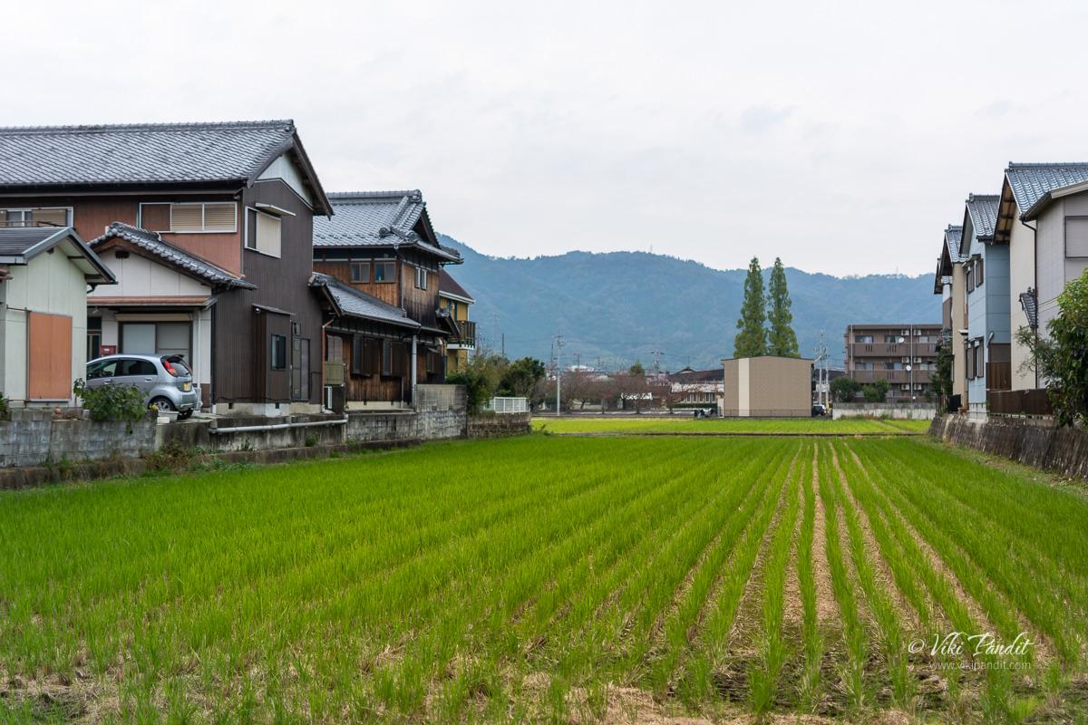 Paddy fields near Iga Ueno Castle