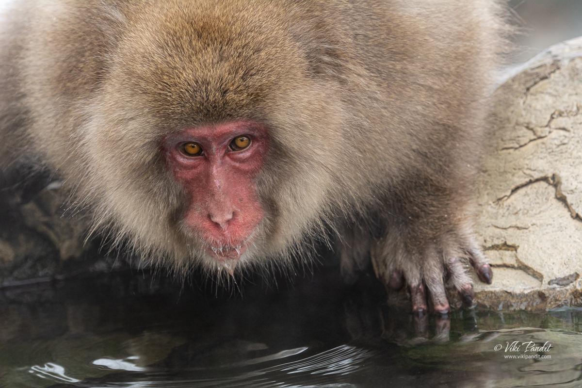 A monkey at Jigokudani Monkey Park