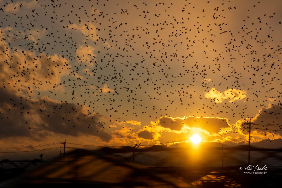 Flock of birds in the Sunset