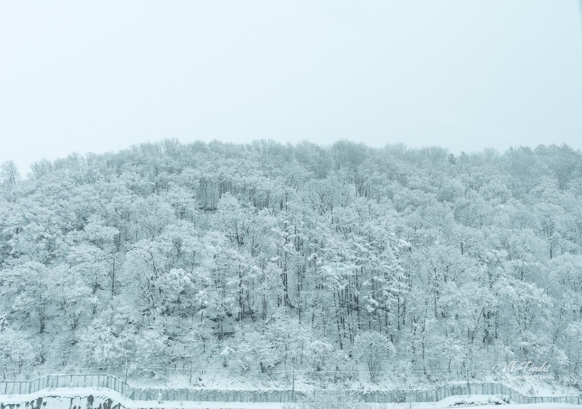 Snow covered trees along Shiga