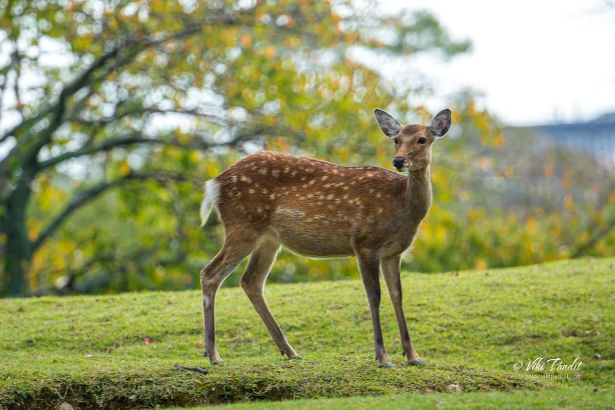 1_Deer-Nara-Park
