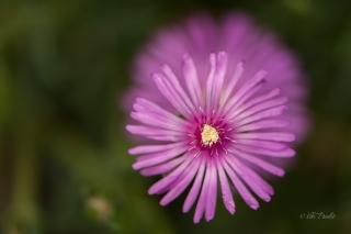 Pink-flower-nara