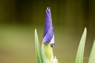 iris-bud-nara