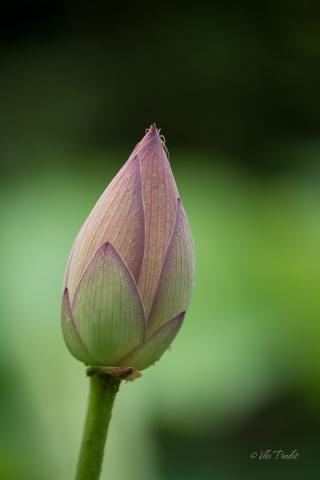 lotus-bud