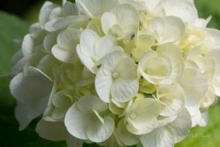white-ajesai