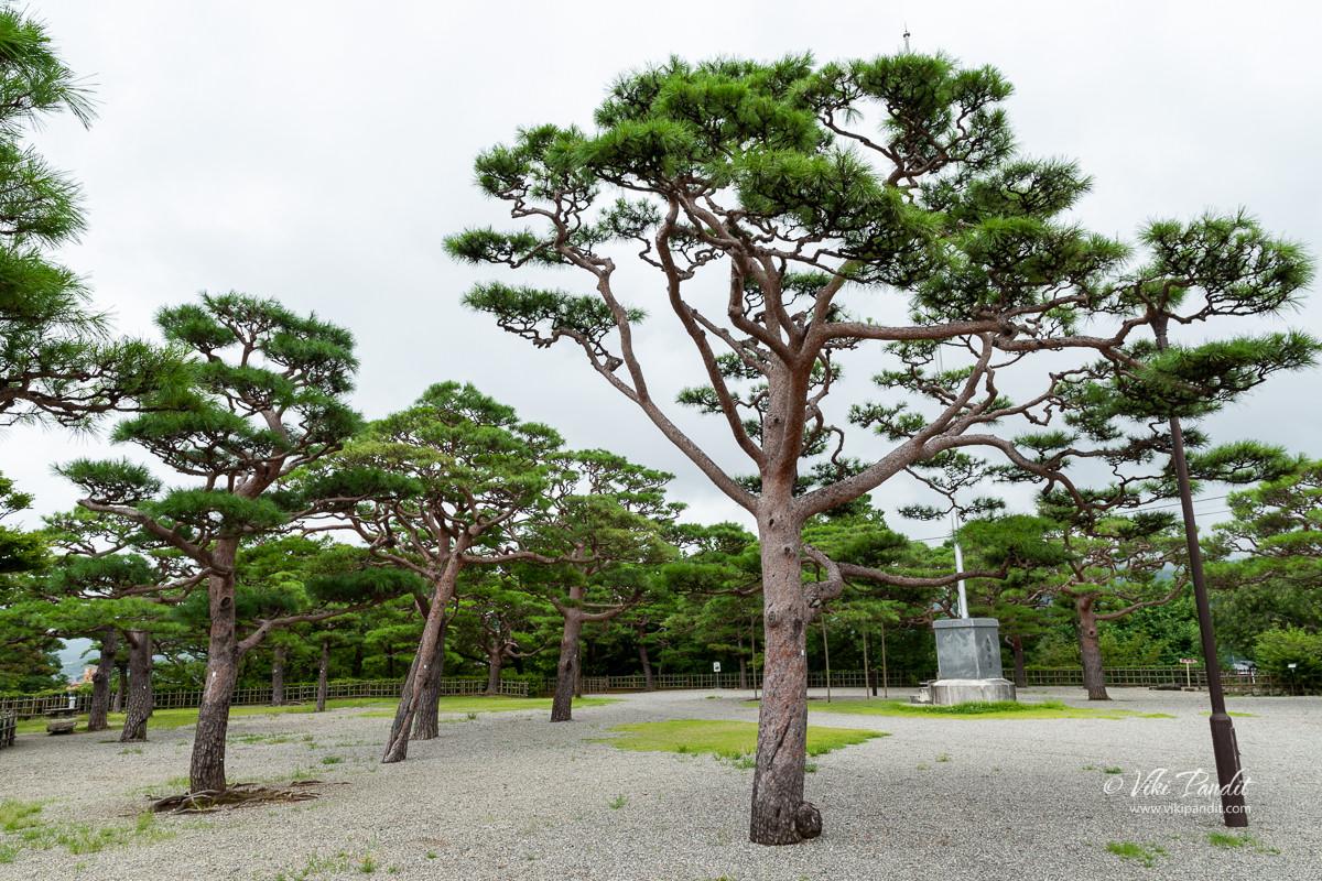 Pine trees in Kochi Park
