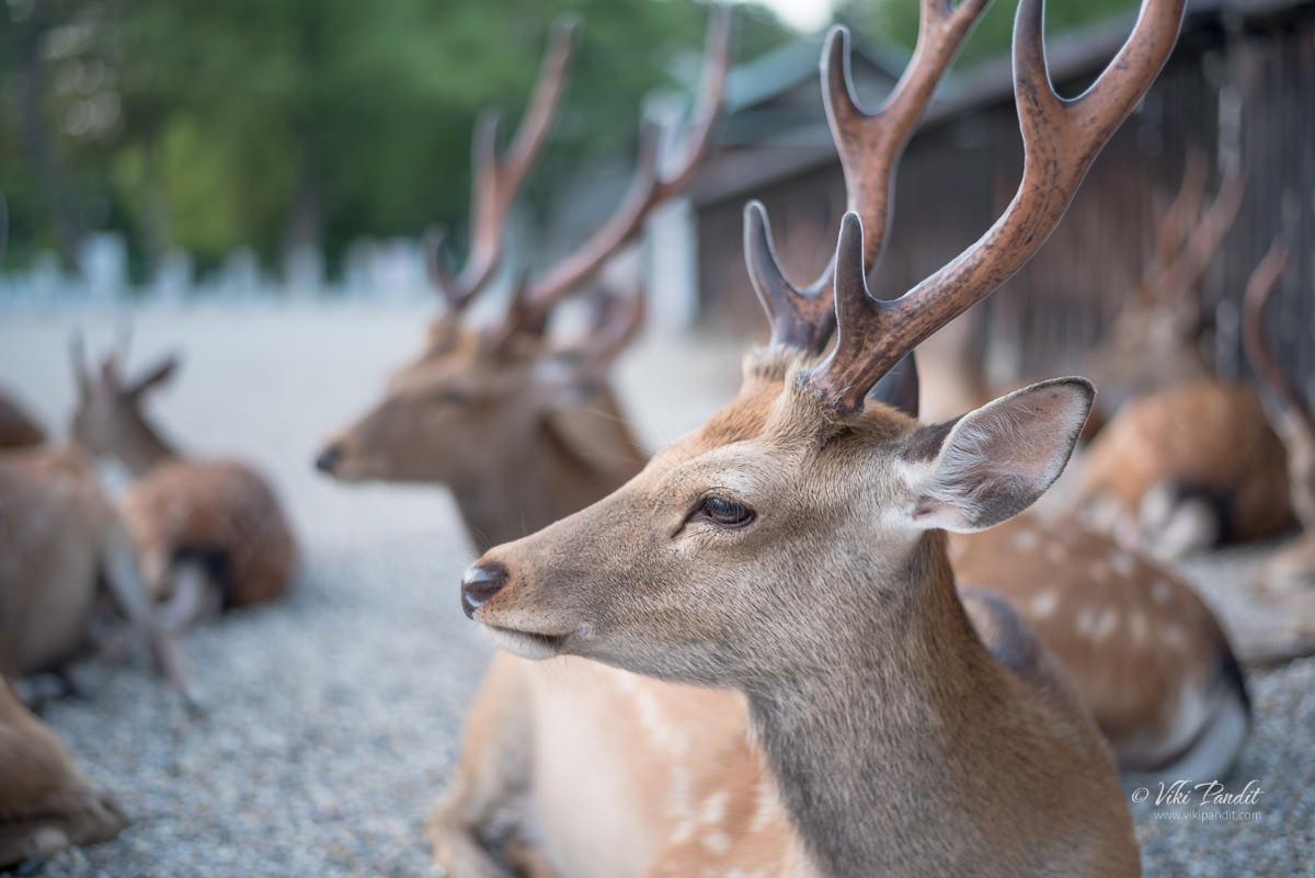 Deer at Kofukuji