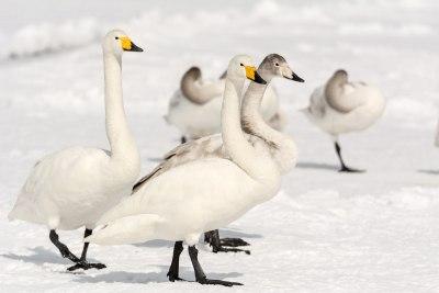 Whopper Swans at Lake-Kussharo
