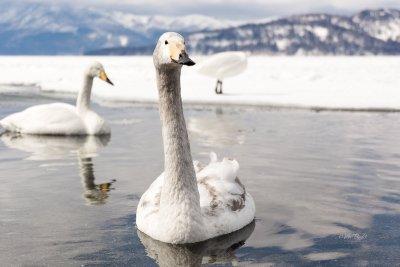 Whopper Swans at Lake Kussharo