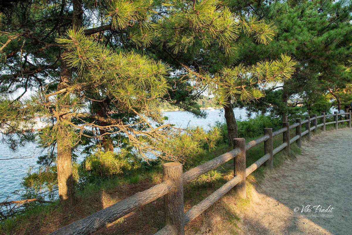 Pine Trees along Matsushima Bay