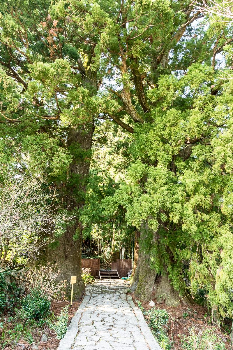 Meoto Sugi Cedar Trees