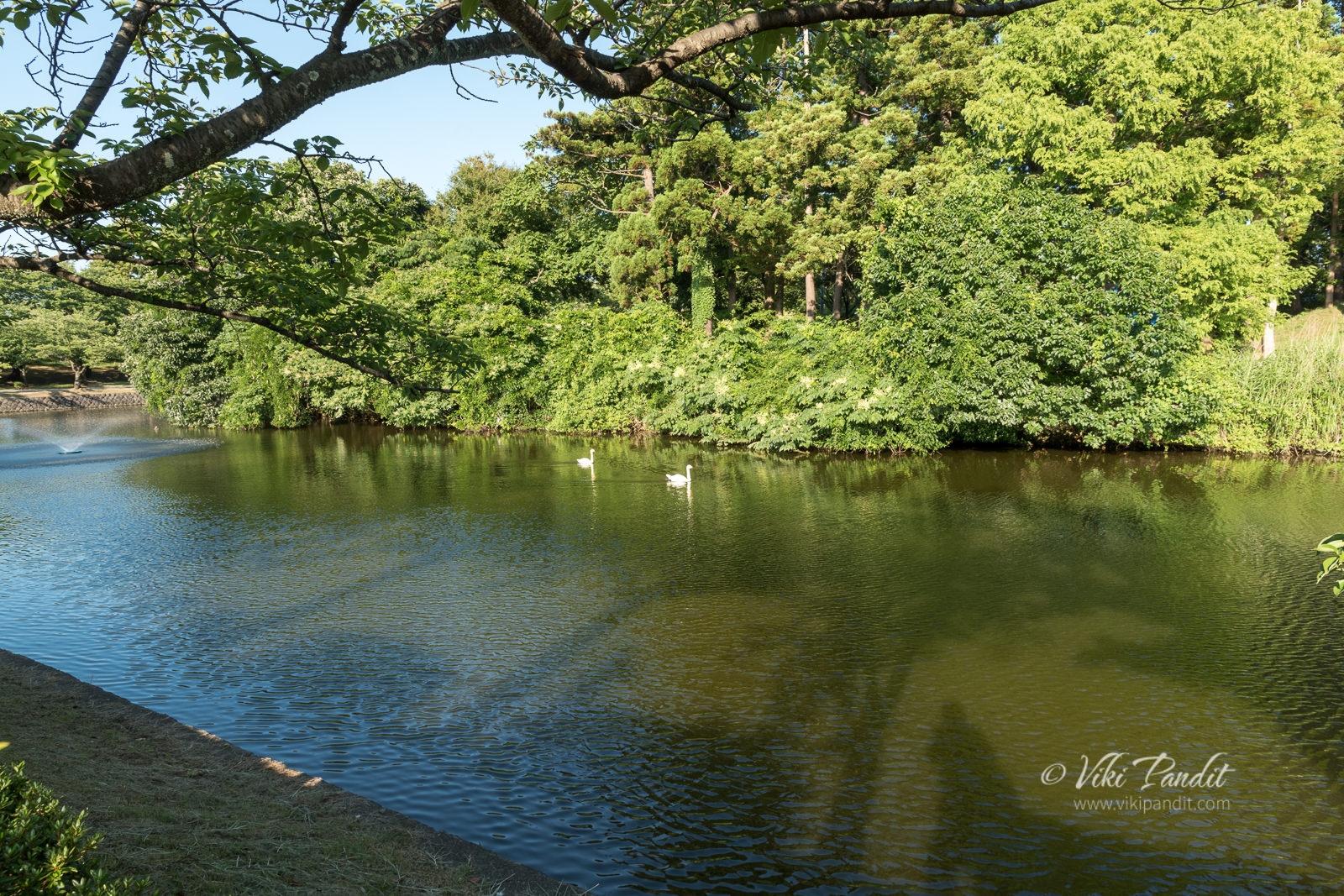 Swans at Tsuruoka Park