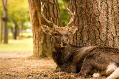 Deer at Nara Park