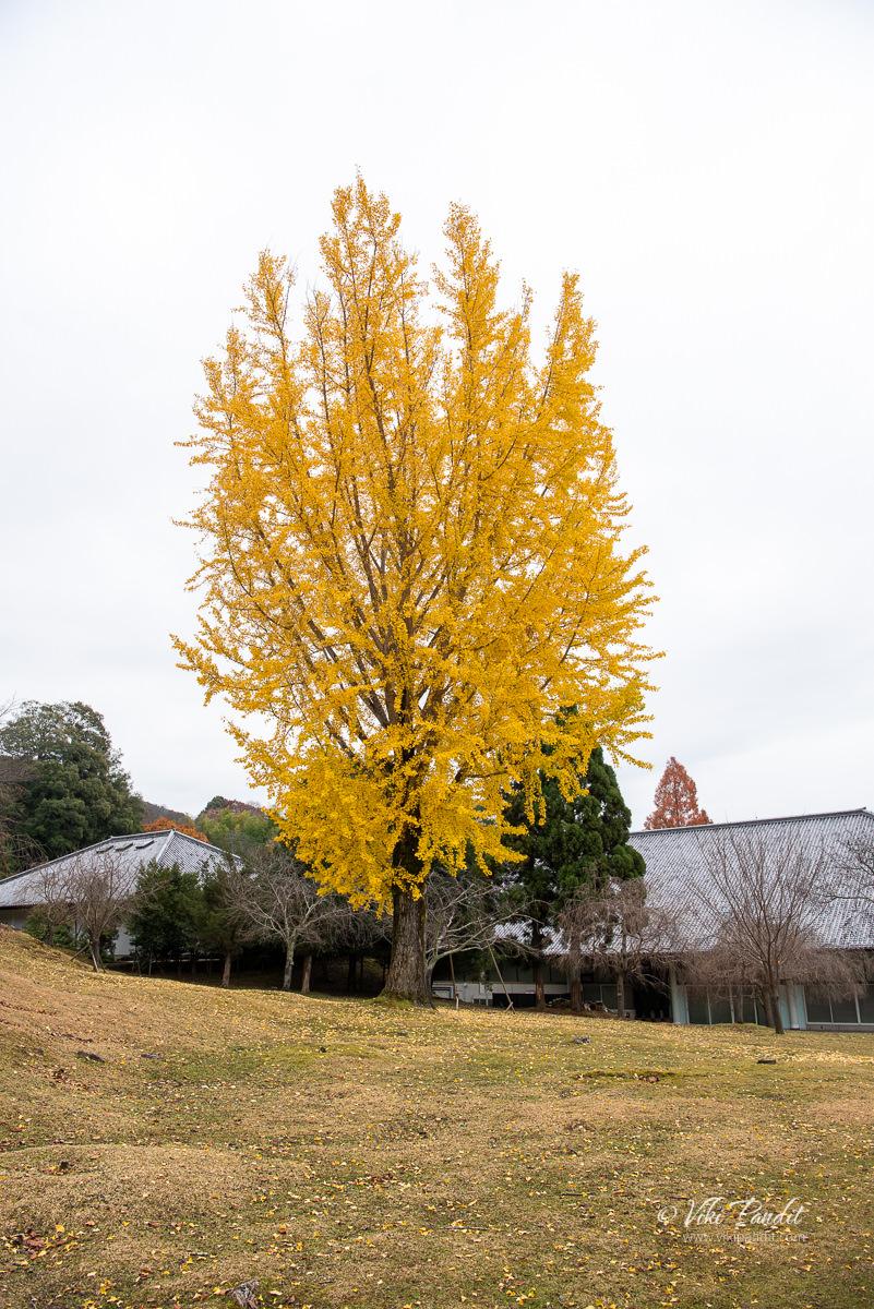 Ginkgo Tree in Nara Park