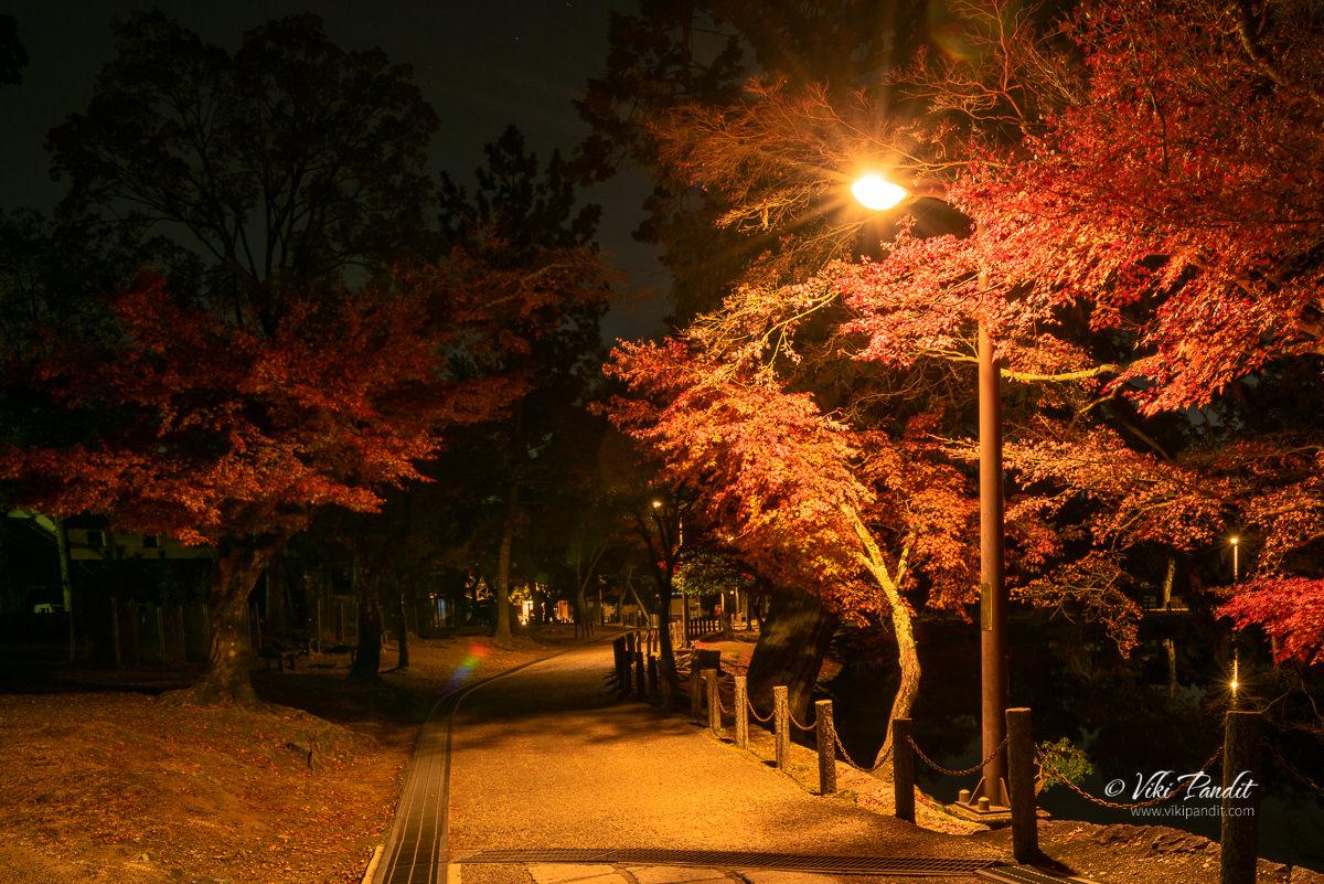 Fall trees at Nara Park at Night