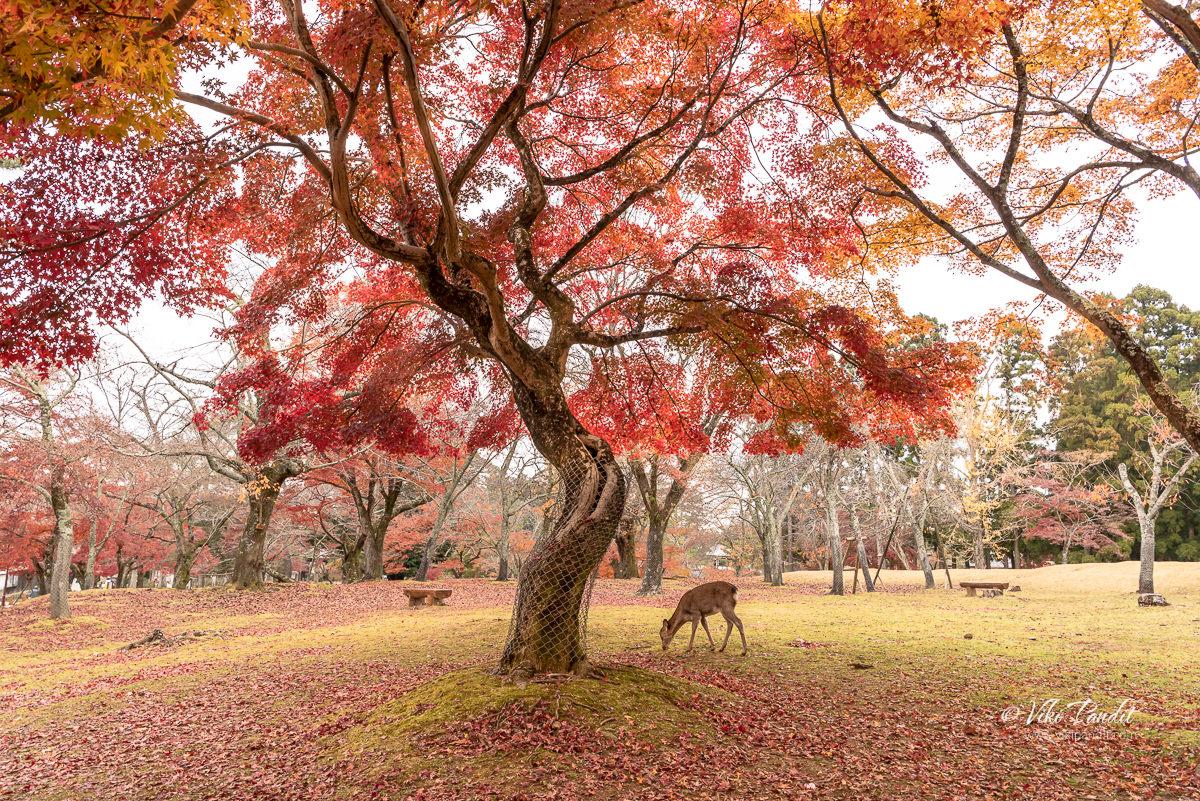 Fall in Nara Park