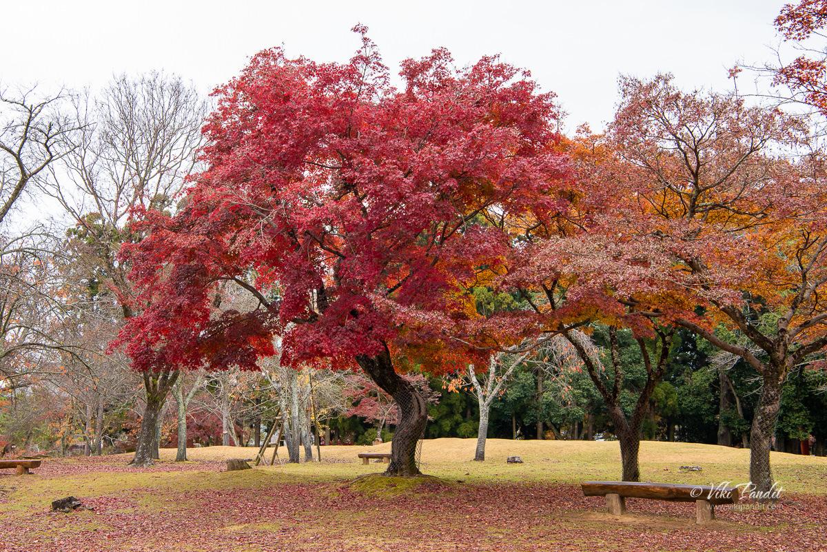 Red Momiji Tree at Nara Park