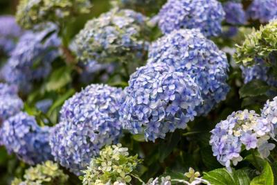 Blue Hydrangeas Flowers Sims Park