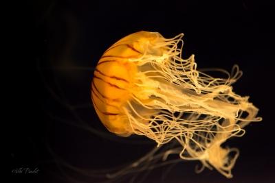 Brown Jellyfish