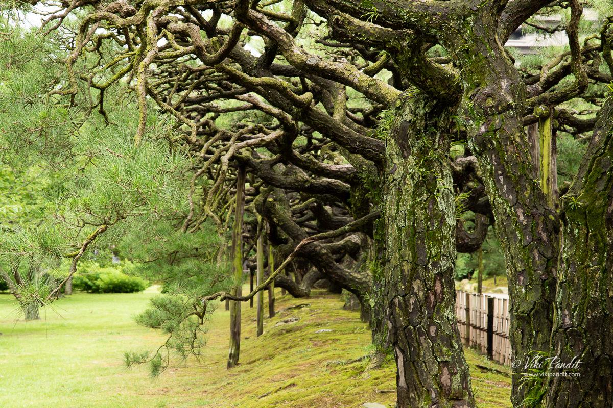 Row of Kuromatsu Pine Trees at Ritsurin Garden