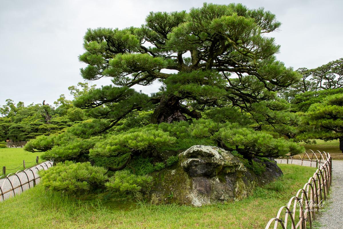 Tsuru Kame Pine Tree at Ritsurin Garden