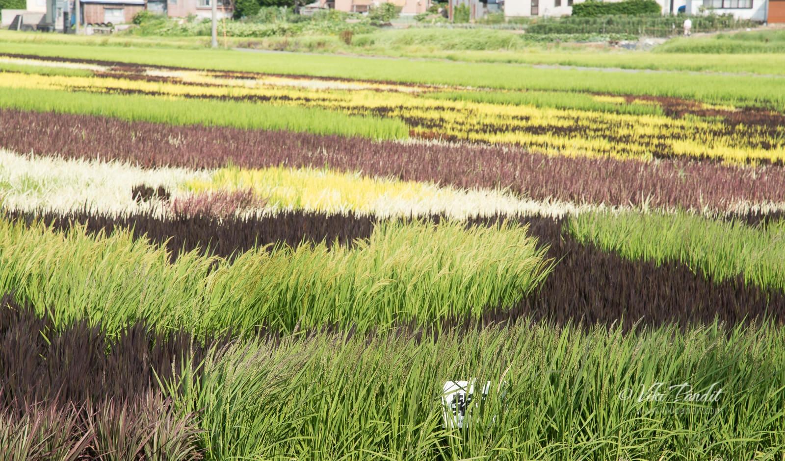 Inakadate-Colored-Rice-FIelds