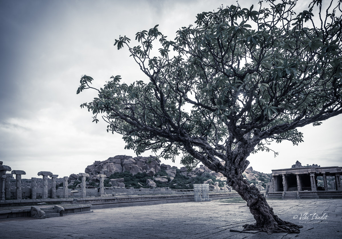 Ancient Tree on Vittala Temple Grounds in Hampi