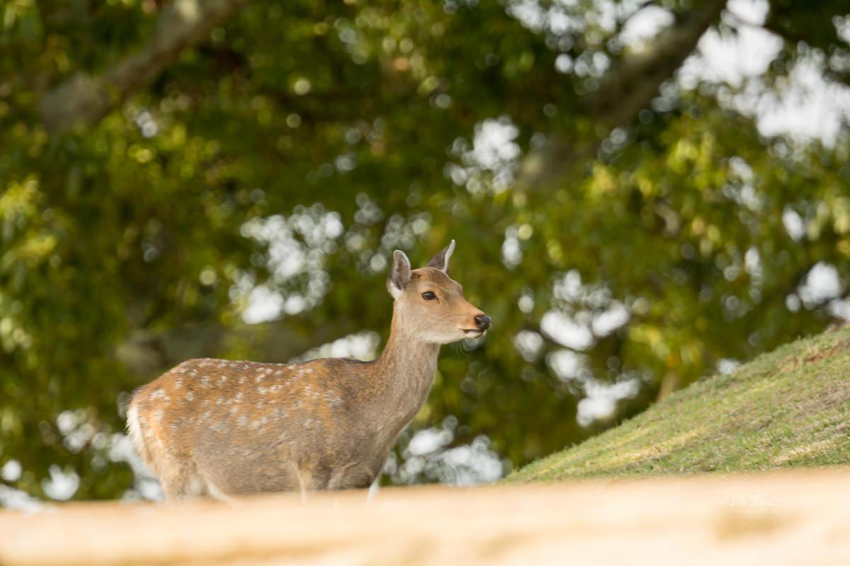 Deer on Wakakusayama