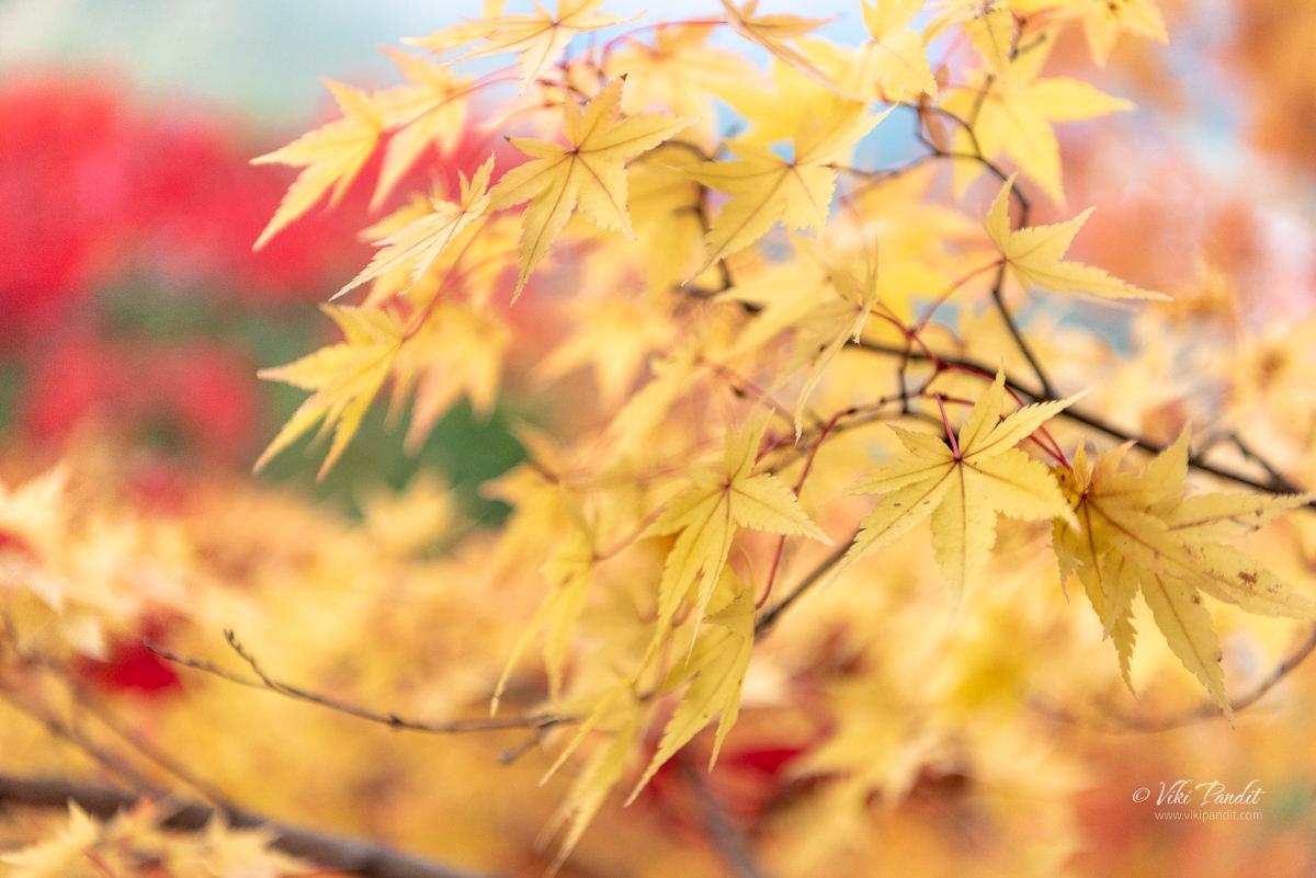 Yellow fall leaves at Yamadera