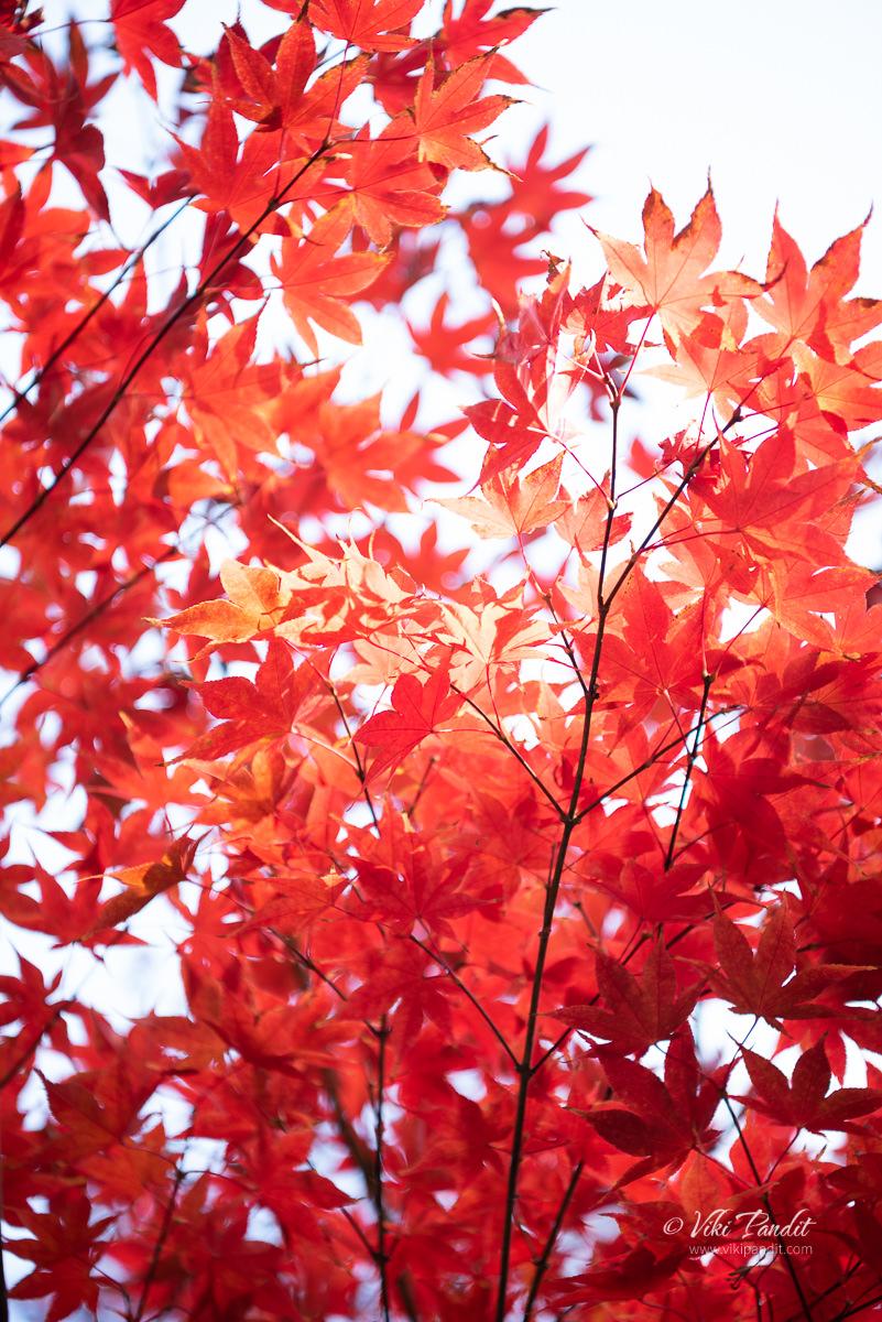 Fall leaves at Yasaka Jinja