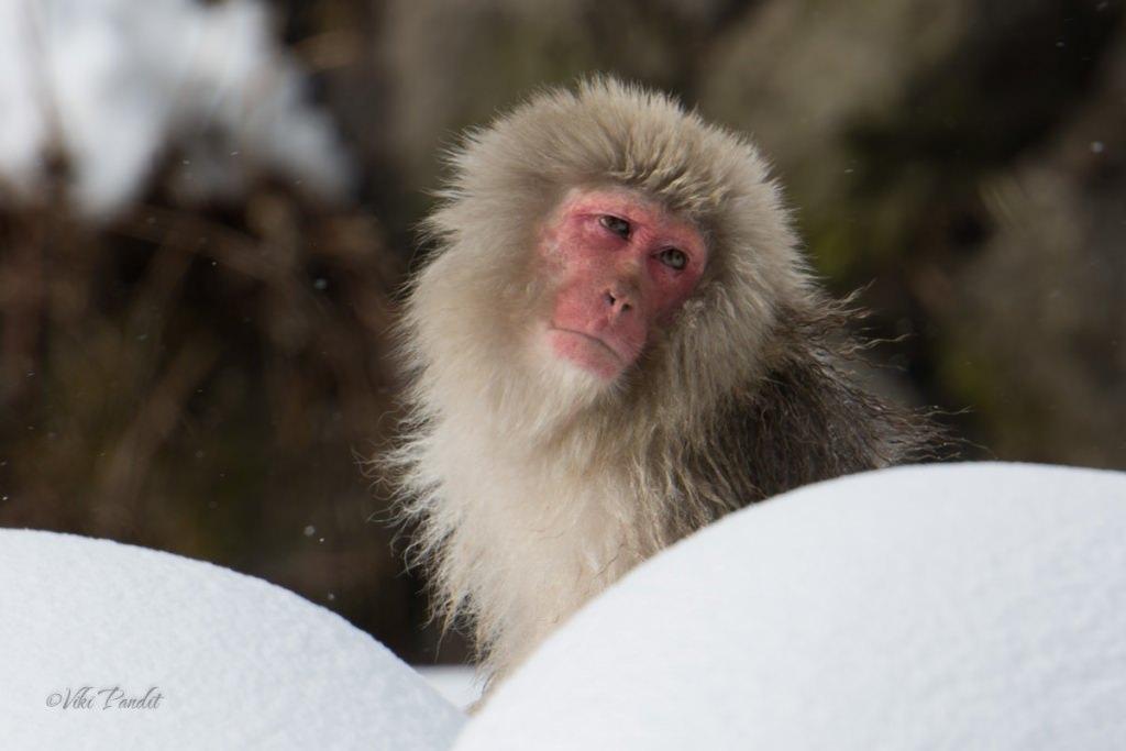 Snow Monkeys of Jigokudani