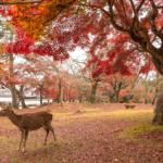 Deer at Nara Park during Fall